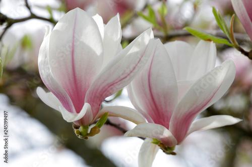 Obrazy Magnolie  tulipan-magnolia-magnolia-soulangeana-kwiaty