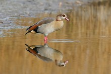 Egyptian Goose (Alopochen Aegyptiacus), Reflected In The Shallow Water, Canton Of Neuchatel, Switzerland, Europe