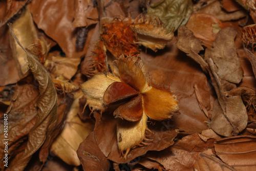 Frucht der Rotbuche, Buchecker am Boden, Fagus sylvatica