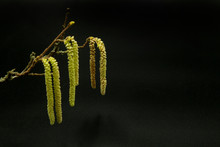 Branch And Golden Flowers Of Hazel Tree On Black Background