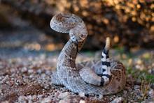 Rattlesnake Pose