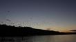 Hundreds of Seaguls at Dusk