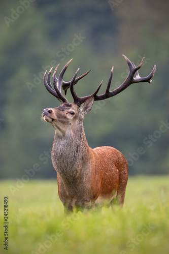 Big red deer, cervus elaphus, stag standing proudly. King of forest with strong antlers. Dominant male animal in wilderness.