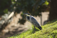 The Black-headed Heron (Ardea ...
