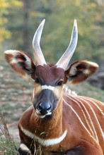 The Detail Of The Head Of Bongo (Tragelaphus Eurycerus) With Huge Horns And Ears And Green And Yellow Background