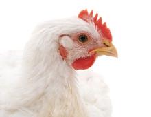 One White Chicken.