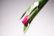 Tulip Dripping White Paint