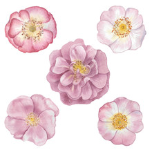 Watercolor Set Of Rose Hip Flowers, Hand Drawn Floral Illustration Isolated On A White Background.watercolor Hand Painting