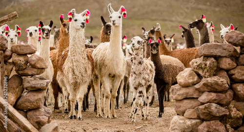 Photo  lama herd