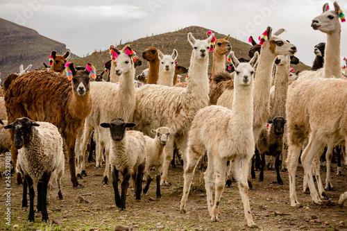 Fotografie, Obraz  lama herd