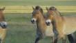 Horse Przewalski Equus ferus przewalskii in the steppe. Slow motion