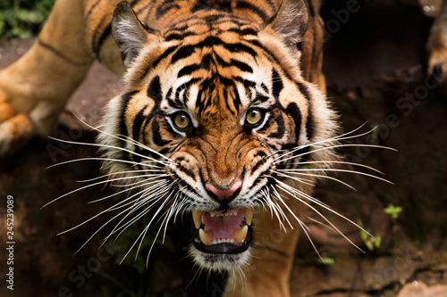 Photo sur Toile Tigre angry sumatran tiger