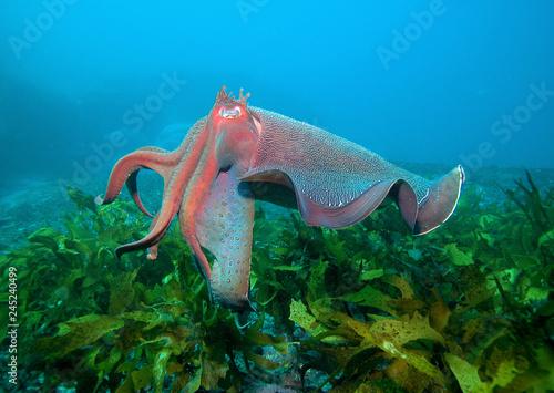 Fotografie, Obraz  Giant cuttlefish in ocean