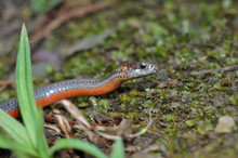 Redbelly Snake Macro Head Portrait