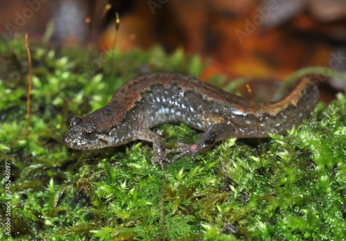 Northern dusky salamander field guide macro portrait Wallpaper Mural
