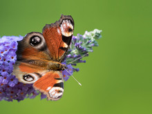 A Peacock Butterfly Sitting On A Butterfly Bush