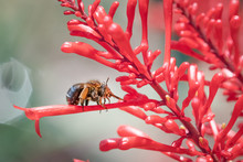 Blue Banded Bee On Red Flower