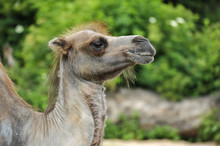 Profile Of A Hairy Camel