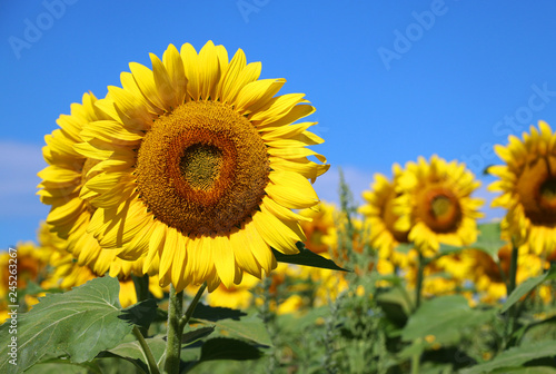 In de dag Zonnebloem Beautiful summer nature background. Field of blooming sunflowers in sunlight against blue sky close up. Agriculture, agronomy and farming concept.