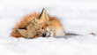 Leinwandbild Motiv Japanese red fox sleeping in the snow