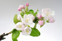 Pink Flowers Of Apple Tree On ...