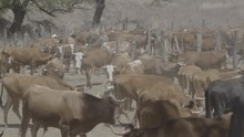 Cattle On Mexican Farmland