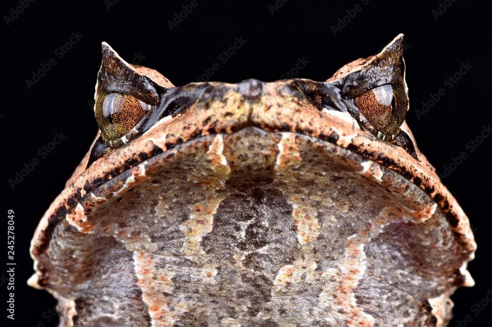 Fototapeta Asian horned frog (Megophrys montana)