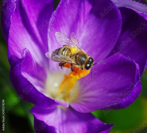 Plakat Kwitnący purpurowy krokus z siedzącą pszczołą. Zbliżenie