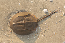 Horseshoe Crab)Tachypleus Trid...
