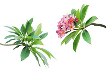 Branches With Green Leaves And Pink Flowers Of Frangipani, Plumeria Tree Isolated On White Background