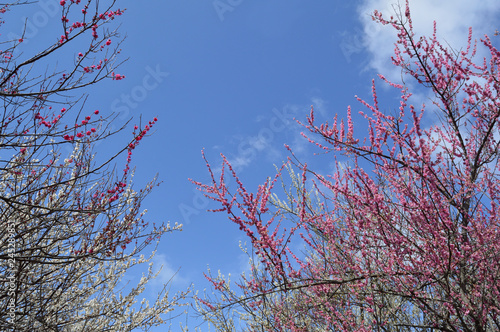 Poster Light pink Red and white plum with the sky behind