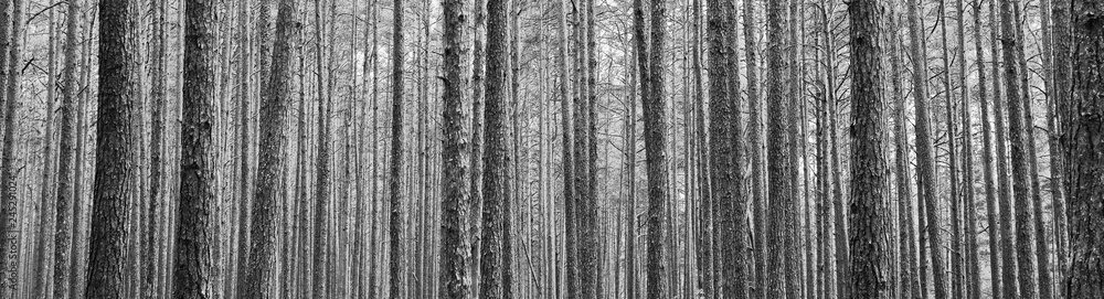 Fototapety, obrazy: Tree trunks in pine forest as beautiful textured black and white panoramic view background.