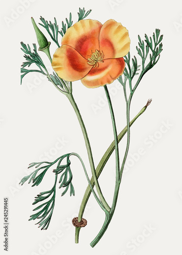 California poppy branch illustration - 245291445
