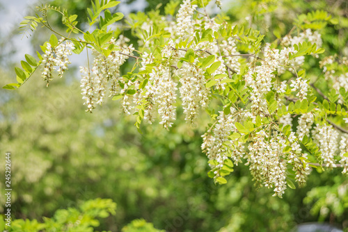 White acacia flowers Canvas Print