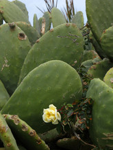 Opuntia (prickly Pear) And Tea...