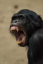 Closeup Of A Female Bonobo Yaw...