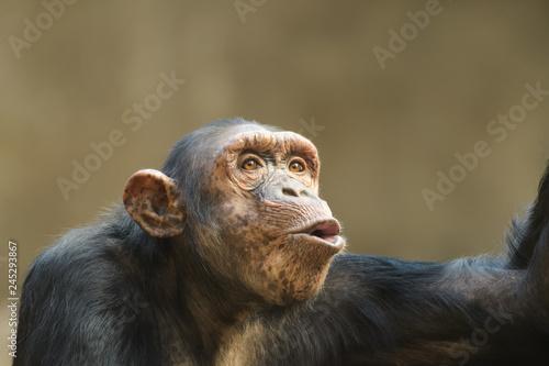 Closeup portrait of a chimpanzee shouting Fototapete