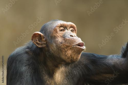 In de dag Closeup portrait of a chimpanzee shouting