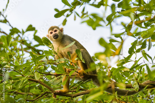Photo  Squirrel monkey in a tree
