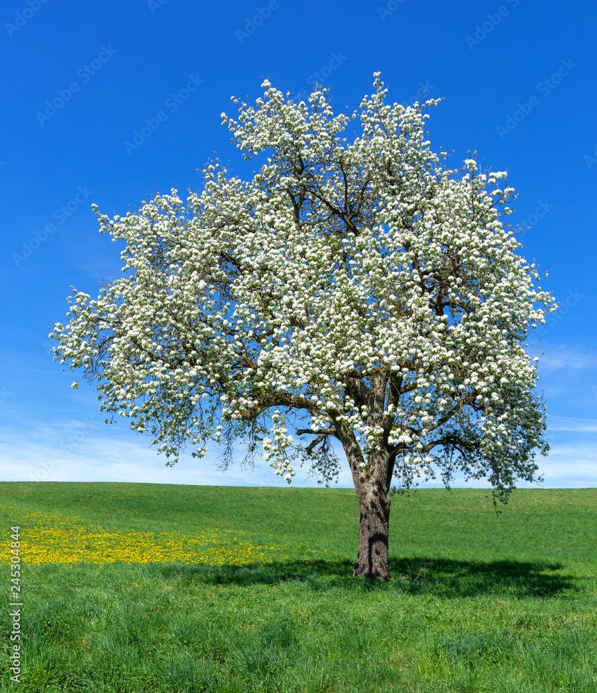 Fototapety, obrazy: Blühender Birnbaum auf einer großen Wiese - Hochformat