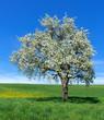 Blühender Birnbaum auf einer großen Wiese - Hochformat