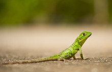 Green Lizard (Reptil), Costa R...