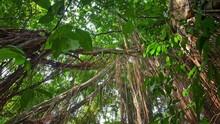 Green Foliage Of Rainforest Canopy POV Camera. Hanging Lianas And Creeper Plants
