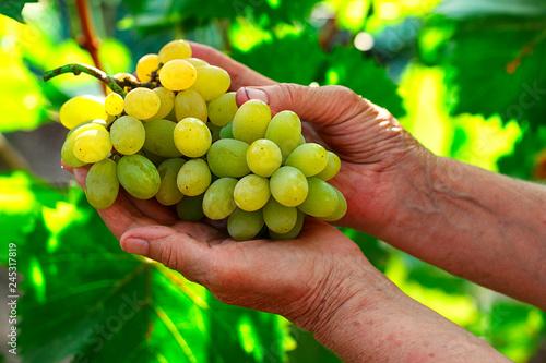 Fotografía  Close up of woman hands holding green grape bunch
