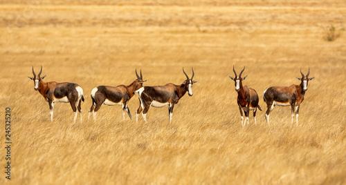 Foto op Aluminium Antilope Bontebok Antelope