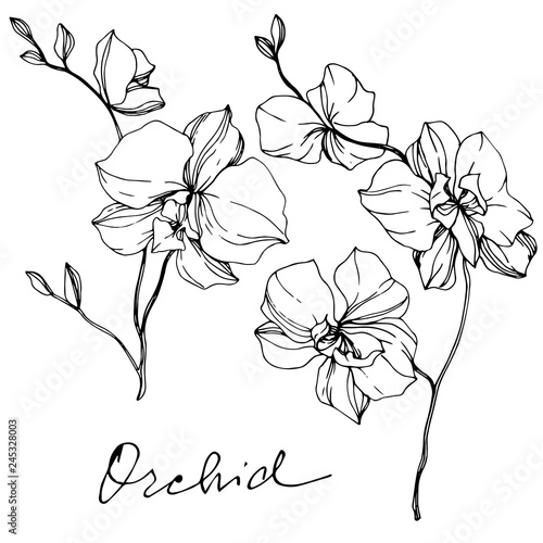 Vector Orcid floral botanical flower. Black and white engraved ink art. Isolated orchid illustration element.