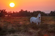 White wild horse grazing on the meadow on sunset.