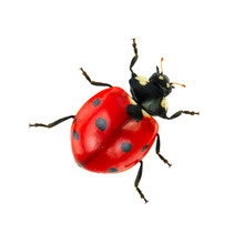 Red Ladybird Isolated On White Background