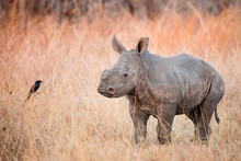 A Rhino Calf, Ceratotherium Simum, Stands In Brown Dry Grass And Looks At A Fork-tailed Drongo, Dicrurus Adsimilis.