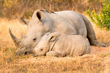 Rhinoceros Mother And Calf Sit...